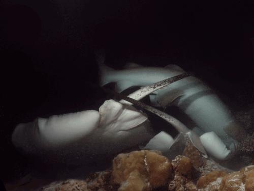 Feeding Frenzy at Alimatha House Reef Night Dive (Nurse Shark & Marble Rays)