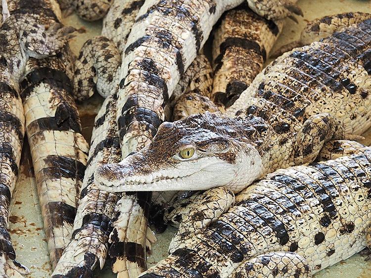 Crocodile Farm Puerto Princesa
