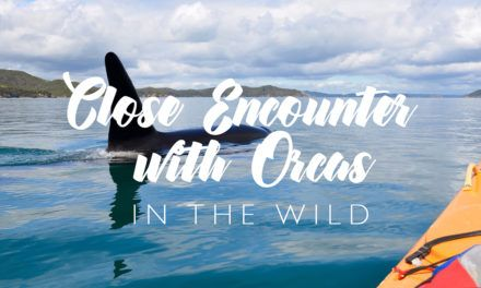 Really Close Encounter with Orcas
